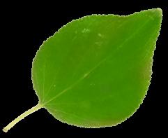 albicocca2