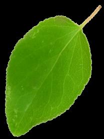 albicocca3