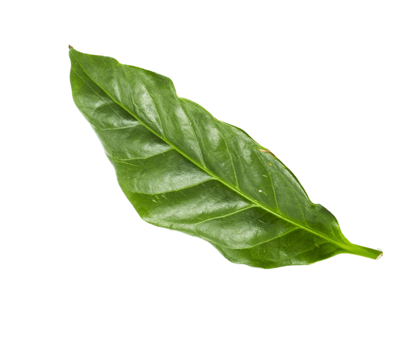 cacao foglia